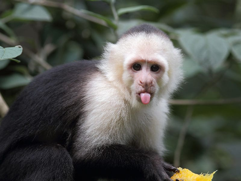 A capuchin monkey sticks its tongue out, appearing to mock the superior cognitive flexibility of monkeys as compared to humans.